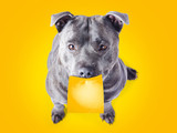 Imploring staffie with a sticky note on his mouth