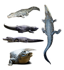 crocodiles over white  with shade