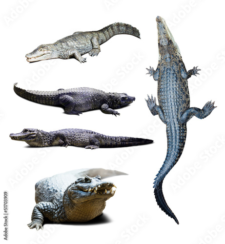 Plexiglas Krokodil crocodiles over white with shade