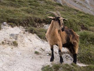 Mountain goat in Picos de Europa, Asturias