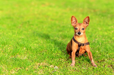 Miniature pinscher dog sitting in the grass