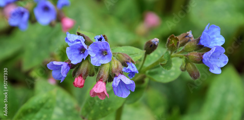 Foto op Canvas Lilac pulmonaria