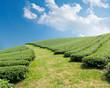 Green tea farm on a hillside