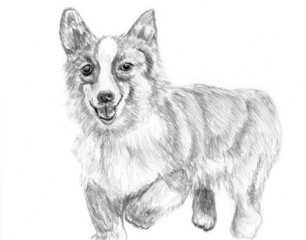 sketch dog corgi run