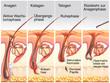 Leinwandbild Motiv Wachstumsphase eines Haares.Haarausfall