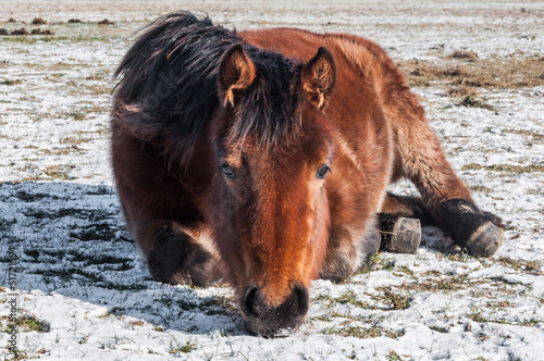Brown horse lying on the snow