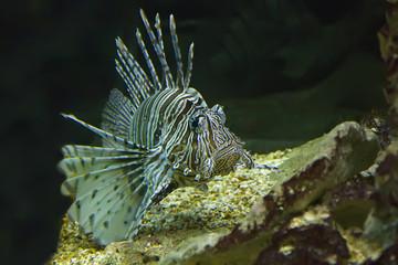 Scorpaenidae, the scorpionfish