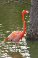 pink flamingo(Phoenicopterus)