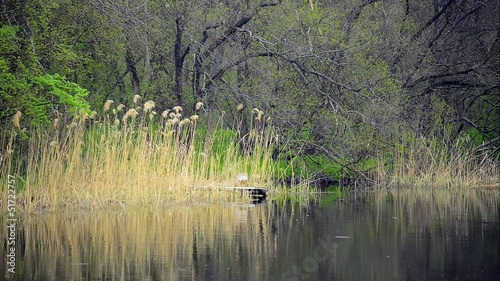 Reeds into calm forest lake