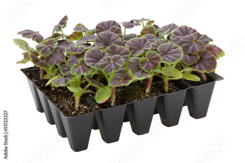 Gernaium plants in seed tray ready for potting up