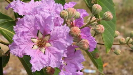 Lagerstroemia floribunda Jack ex Blume