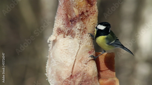 black-capped chickadee eats bacon, close up.