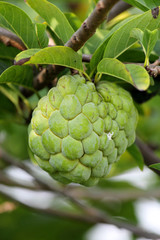 Custard Apple Annona squamosa fruit on tree
