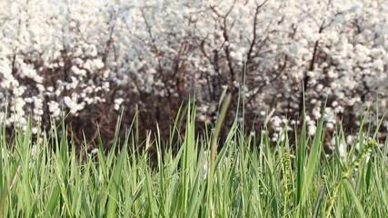 green grass spring scene
