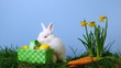 White rabbit sniffing easter eggs in a basket besides daffodils