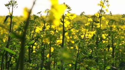Field of rapeseed blooms ...