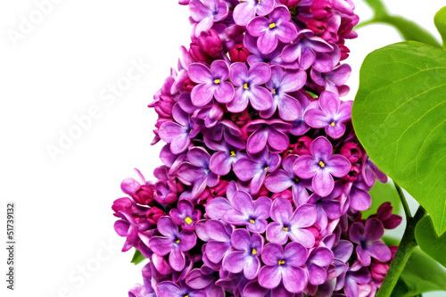 Beautiful Bunch of Lilac close-up.