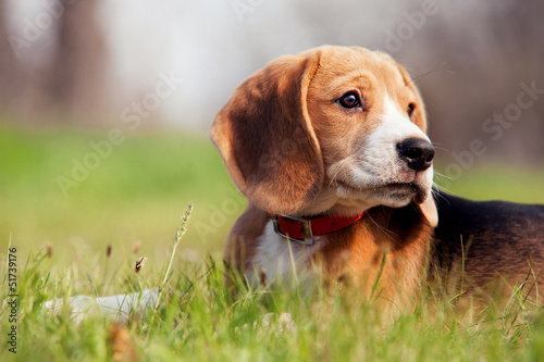 Beagle puppy lies quietly in the grass