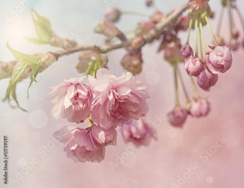 Pink cherry blossom tree - 51739597