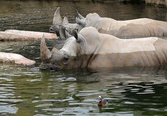 rinoceronte bañándose