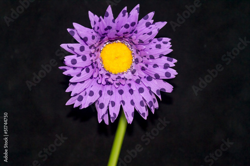 Purple flower on black background