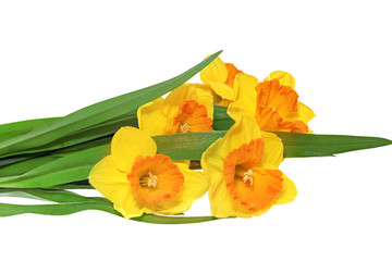 Beautiful spring three flowers : orange narcissus (Daffodil).