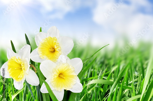 Foto op Canvas Macro Beautiful spring flowers : -white narcissus (Daffodil).
