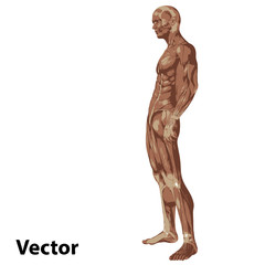 Vector 3D human or man with muscles for anatomy or sport