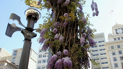 Wisteria Vine with Blooming Flowers with Weather Vane Breezy Day