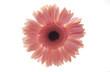 Translucent Pink Gerbera Flower