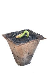 semis dans pot biodégradable