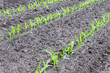 Rows of young maize plants in earth