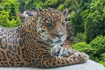 Jaguar has a rest against falls