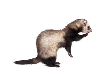Ferret (10 years old) isolated over white background