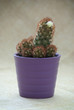 Flowering prickly cactus in a pot
