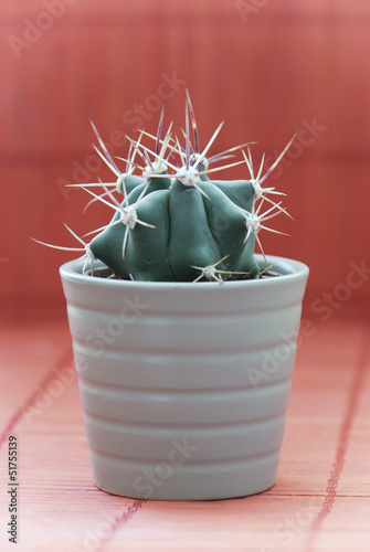 Little prickly cactus in a pot