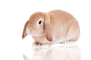 Rabbit Ram breed, red color, isolated on white background.