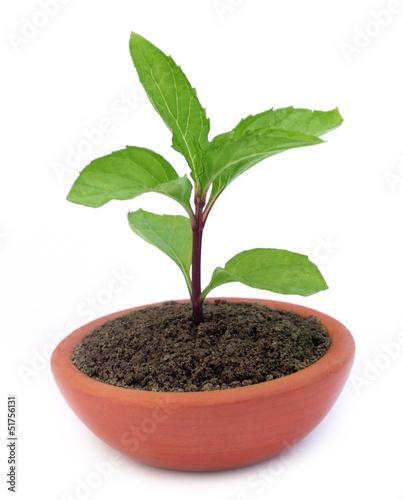 Mint plant on a clay pot