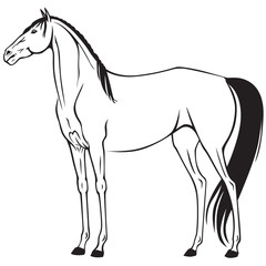 Beautiful thoroughbred riding horse