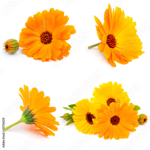 Calendula. flowers isolated on white collage