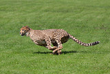 Running cheetah - Fine Art prints