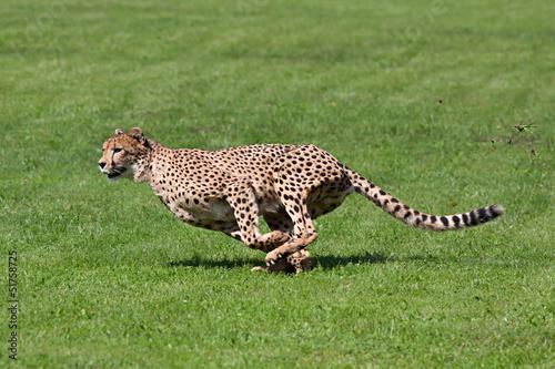 Poster Running cheetah