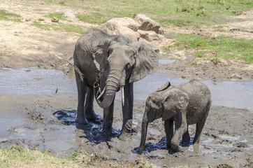 Family of elefants