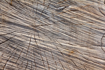 Textura corte de tronco de chopo. Populus.