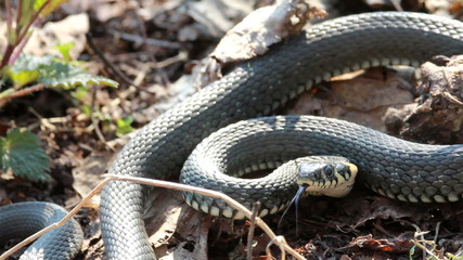 Grass Snake (Natrix Natrix) resting in the warmth