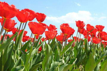 Rotes Tulpenfeld