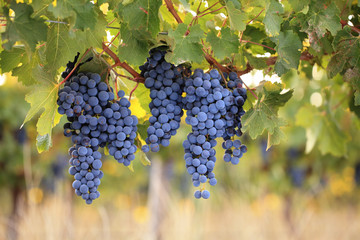 Bunches of ripe red wine grapes on vine