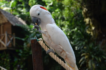 White Cockatoo in tropical garden