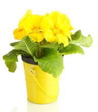 Piękne żółte pierwiosnki w doniczce, na białym tle