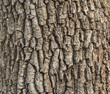 Detail of oak tree bark - 51772936